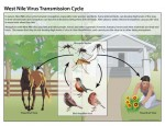 13_240124_west_nile_lifecycle_birds_plainlanguage_508-150x115